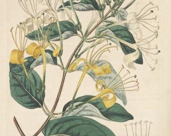 Honeysuckle Elixir - Wild Foraged Lonicera japonica - brandy tincture with raw Hawaiian honey