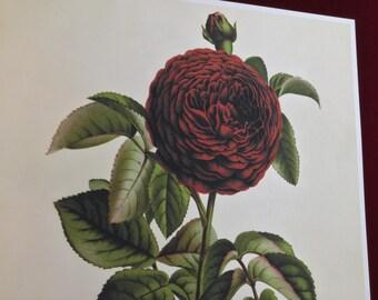 Antique Red Rose Botanical Print