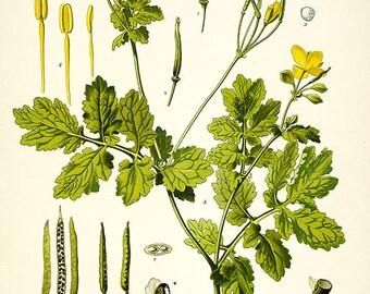 Vintage Celandine Floral  print herb plant flowers ,chelidonium herbal print,  flower and seeds print, vintage floral print, vintage herb