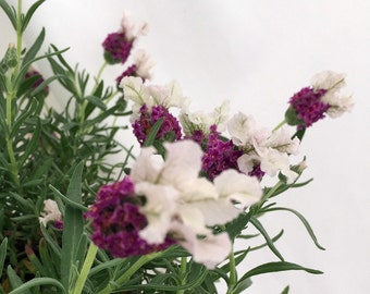 "Boysenberry Ruffles Lavender Plant - Perfumes/Pot-pourris/Soaps - 4"" Pot"