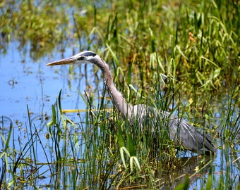 Great Blue Heron Print - Blue Heron Photo - Gray Bird Photography - Blue Heron Art - Bird Lover Gifts - Blue Heron Wading in the Reeds