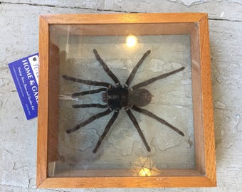 Large spider in glass frame