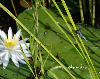 Dragon Fly Photograph, Dragon Fly Color Print, Summertime Photo, Dragon Fly Lily Pond, Lily Pond Photo