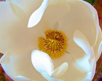 Beautiful, Elegant White Magnolia Flower-Fine Art Photo Blank Greeting Card--Suitable for Framing-Copyright Protected