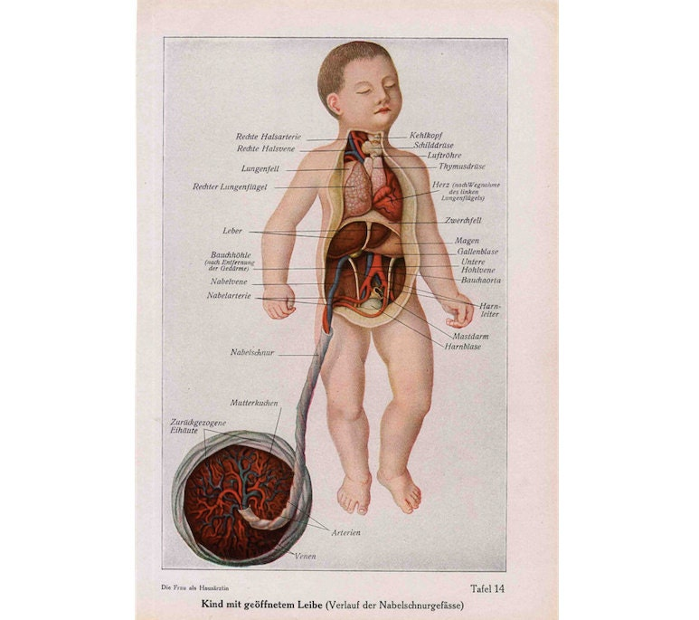 1900 FETUS BABY ANATOMY print antique original medical