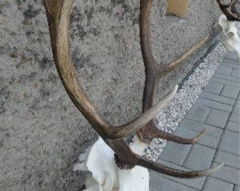 Red deer stag antlers and complete skull taxidermy home decor (Cervus elaphus)