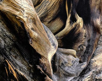 Bristlecone pine art, tree roots photo, pine tree art, log cabin forest art, rustic home decor, Colorado art, fine nature photography, roots