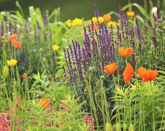 Garden Photography - purple orange and yellow flowers, nature photography, 8x10 fine art photography