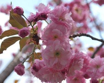 15+ Japanese Cherry Blossom Tree Seeds (Prunus serrulata) Sakura Oriental East Asian Cherry (Bonsai-suitable)