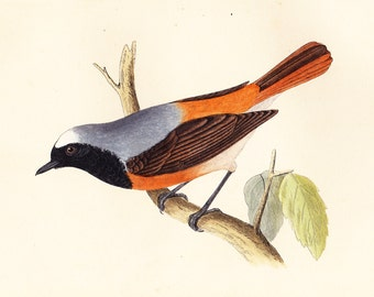 ORIGINAL ANTIQUE Redstart print . bird plate woodblock . vol III dated 1853 old ornithology art illustration specimen