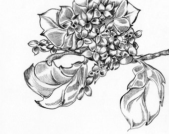 Hydrangea Pencil Drawing OOAK One of a Kind Original Sketch Illustration Fine Art Flower Wall Art Home Decor Black and White Fine Art