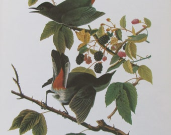 Audubon's Birds of America, GRAY CATBIRD, Unframed Print, Color Plate, Book Page, Book Plate