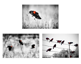 Blackbird Print Set - Set of 3 photographs three, black and white photo set, 3 prints red wing blackbird photography, bird prints, red