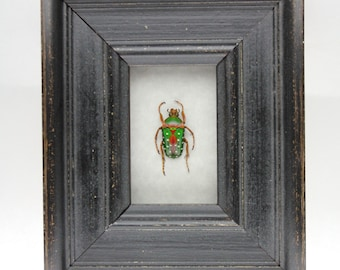 Real Spotted Flower Beetle Framed Insect Stephanorrhina guttata