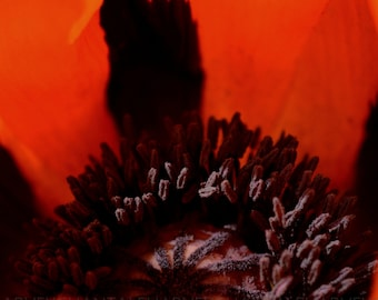 Picture poppy, fine art photo print, 12x12, 16x16, 18x18, 20x20, 24x24, wall art, orange photo design, interior decoration, monochrome cube