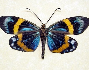 Real Framed Eterusia Repleta Day Flying Moth Male 7956M