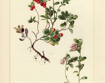 Vintage lithograph of cowberry or lingonberry from 1958