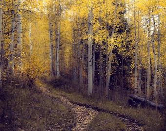 Aspen trees, pathway, path, fall tree decor, Colorado art, cabin decor, fall aspen forest, aspens art, fall aspen art | Evening Stroll