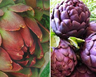 Artichoke Violetto (20 SEEDS) or Artichoke Purple (10 SEEDS)-Perennials