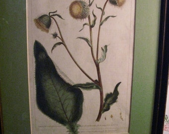 Beautiful Botanical Etching from 1758. CNICUS