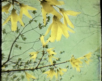 Forsythia Photography, Nature Photography, Flower Wall Decor, Yellow Mint Decor,  Shabby Chic Home