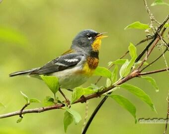 Northern Parula Photo | Warbler Photography | Tropical Theme Art | Bird Watcher Home Office Decor | FeatherWindStudio | Spring Bird Print