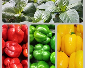 Colorful Bell Pepper Colection Heirloom Seeds Non-GMO Naturally Grown Open Pollinated Gardening