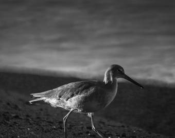 "Black and White Photographic Print, Bird/Aviary Fine Art, Nature Photography, Wall Decor, Photographic Print, Home Decor - ""Aliso Stars"""