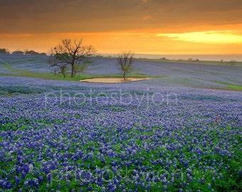 Field of Dreams Texas Bluebonnet- signed original photograph - Texas Wild Flowers Bluebonnets Landscape