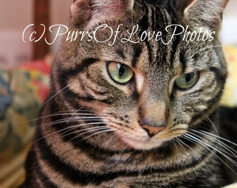 Tabby cat photograph. Instant download.