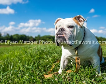 Clouds English Bulldog Print, Fine Art Photography Print, Purrfect Pawtrait Pet Photography, Animal Photography