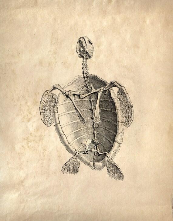Alte Anatomie Diagramm Reproduktion Print. Meer Turlte Skelett