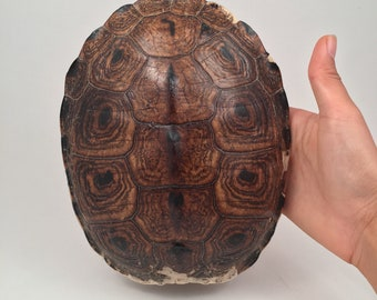 Real Turtle Shell