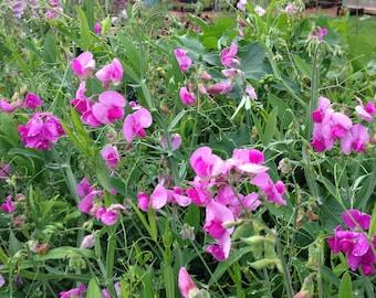 Perennial Sweet Pea Seeds, Lathyrus latifolius, Perennial Vine, Purple Sweet Pea Flowers, Great for Trellis or Screening