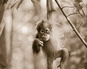 CUTE BABY ORANGUTAN Photo...
