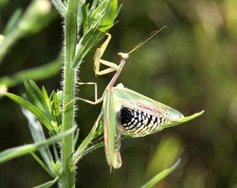 Praying Mantis Fine Art Photographic,Blank,Greetings Card