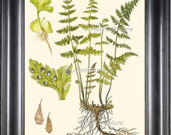 FERN PRINT Lindman Botanical Art Print 6  Antique Beautiful Green Ferns Kitchen Dining Living Room Bedroom Staircase Home Wall Decoration