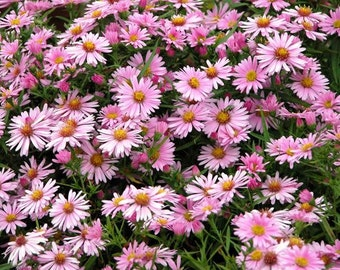 Pre-order for Spring 2018/ 10 Live Plants Sheffield Pink Chrysanthemum 10-12 inch Tall, Deer resistant, Ground Cover