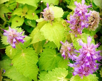 Anise Hyssop Seed, Golden Jubilee Hyssop, Agastache foeniculum Seeds, Great for Bee Friendly Gardens