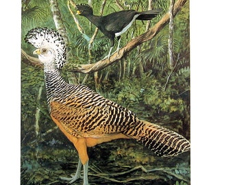 Great Curassow - Bird Print - Louis Agassiz Fuertes Art - 1982 Vintage Book Page - Nature Art - 8 x 11
