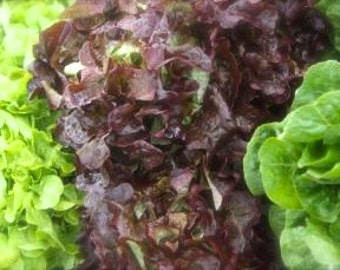 SALE! Butterhead Lettuces Custom Mixed Varieties Reds and Greens Velvety Textured Superb Flavor Organically Grown Heirloom Seeds