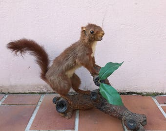 squirrel Taxidermy nuts Vintage 30031711