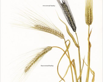 barley grain cereal plant grass vintage botanical art print food kitchen decor by Marilena Pistoia 8 x 11 1/4 inches