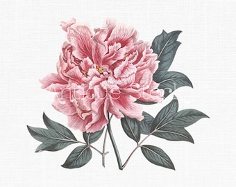Flower Clipart 'Pink Peony' Botanical Illustration Download for Invitations, Scrapbooking, Wall Art, Paper Craft...
