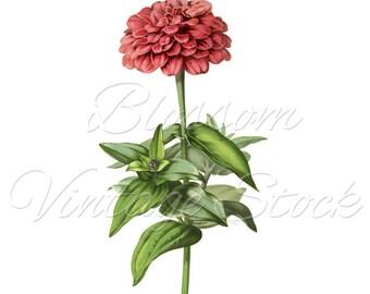 Vintage Flower PNG Clipart, Botanical Illustration Pink Flower Digital Image INSTANT DOWNLOAD Vintage Digital Image, Clipart - 2005