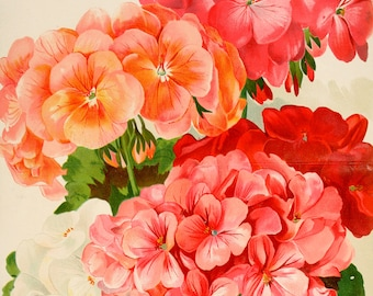 Art Print: Geranium Illustration Poster