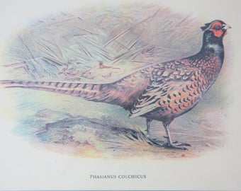 Vintage Pheasant Print Under Glass in Wooden Frame, Phasianus Colchicus