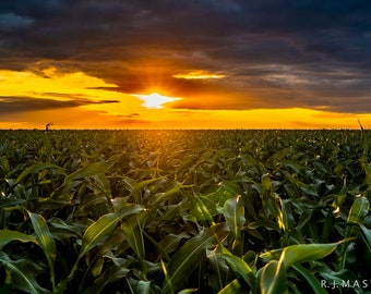 South Texas Sunset Corn Field