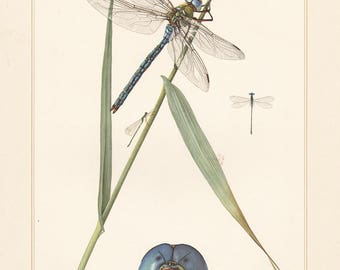 Vintage lithograph of the pygmy damselfly and emperor dragonfly from 1955