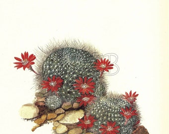 Cactus Print, Botanical Print, Art Print, Home Decor, Book Plate, Antique Illustration, 1970s, Wall Decor, Rebutia senilis, Red, A-14